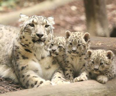 Journée internationale du léopard des neiges