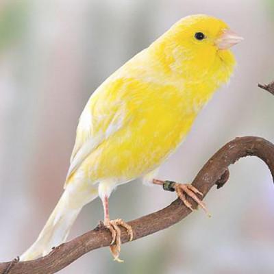 Journée international du canari