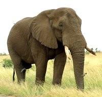 4 octobre Saint Francois d'Assise Elephant