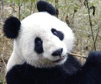 4 octobre Saint Francois d'Assise Panda