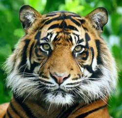 4 octobre Saint Francois d'Assise Tigre